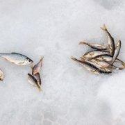 По льду за пескарём