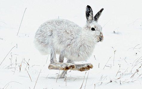 Заяц из-под гона