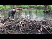 Зарыбление ручья в... одной из областей России. Видео нашего друга и сподвижника.